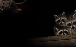 raccoons background