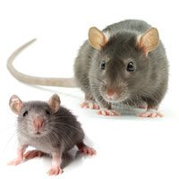 Mice Rats