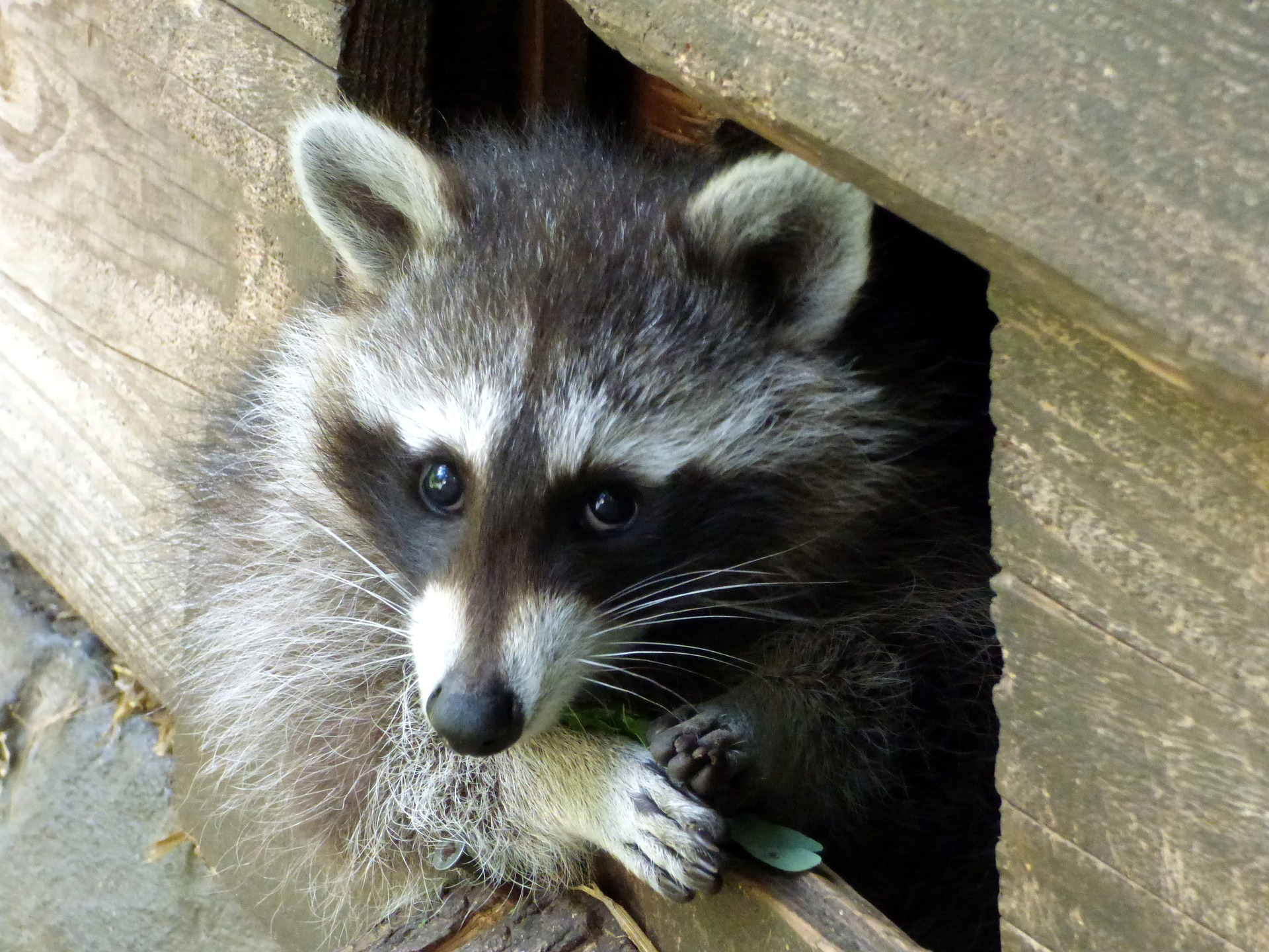 How to Prevent Raccoons from Nesting in Your Home