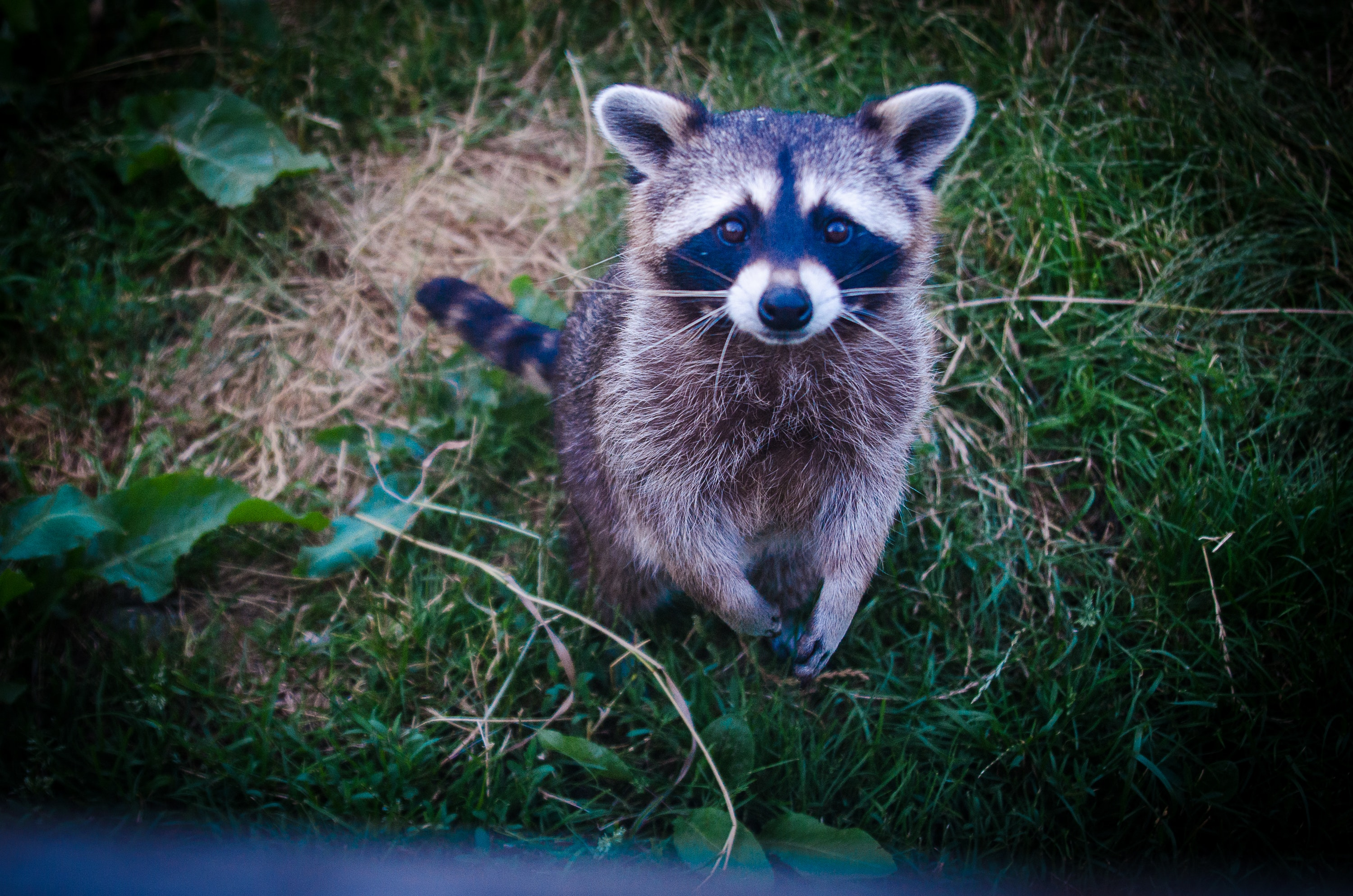 backyard animal raccoon