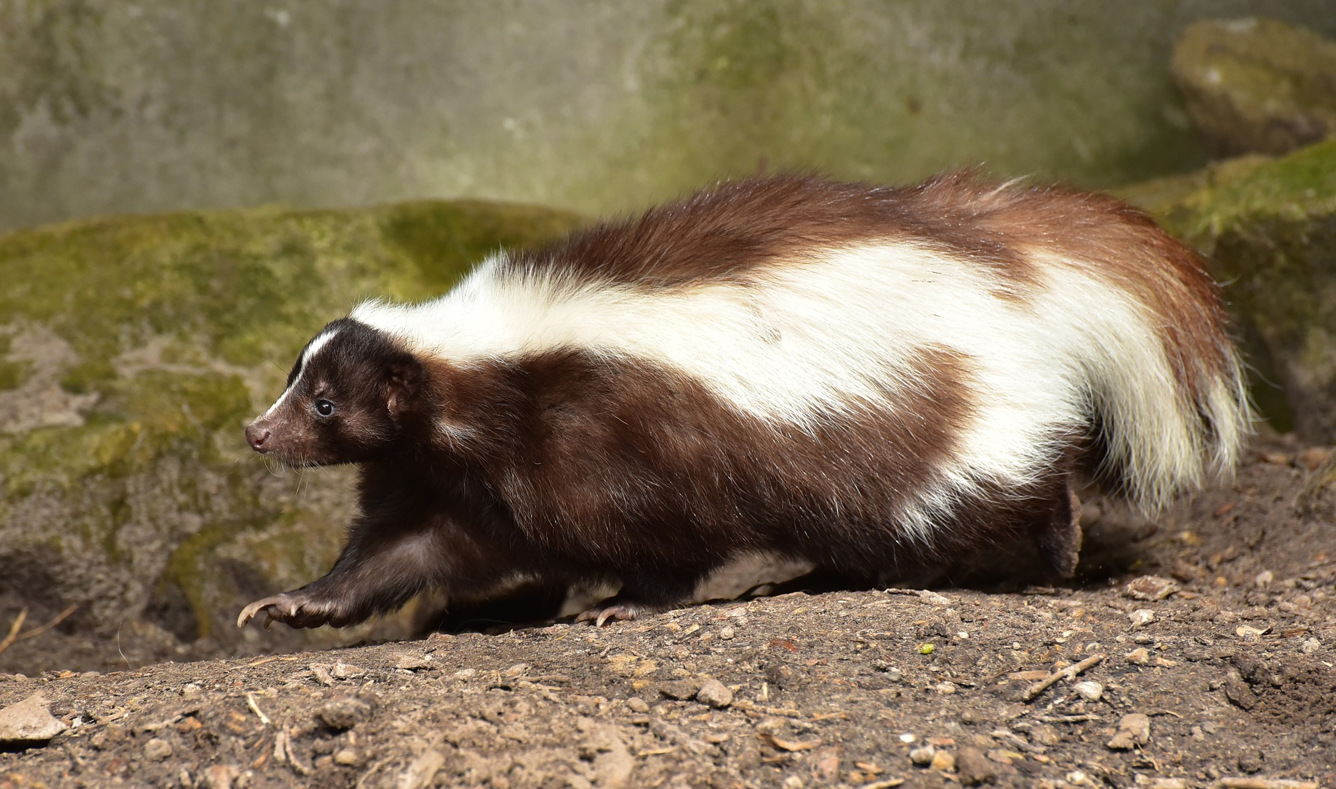 Tips on How to Prepare for Skunk Season